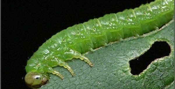 Гусеница, поедающая лист щавеля