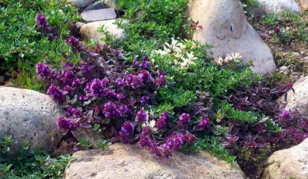 Тимьян является достаточно красивым растением