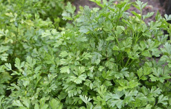 В год зелень дает урожай до четырех раз