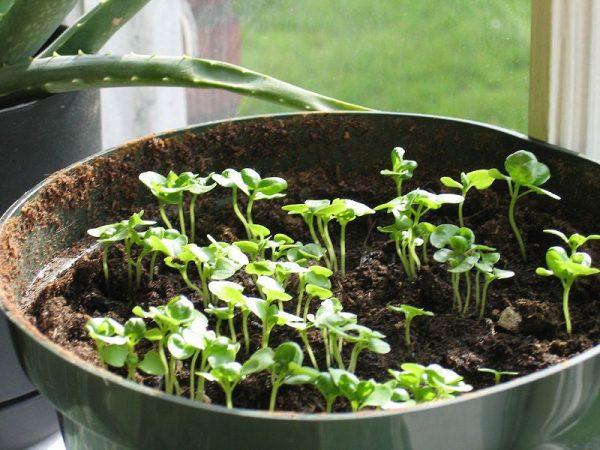Многие выращивают базилик наравне с алоэ