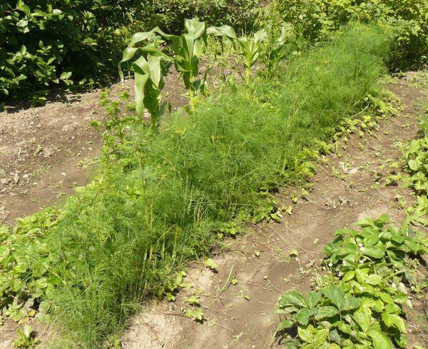 Укроп является безвредным для других растений