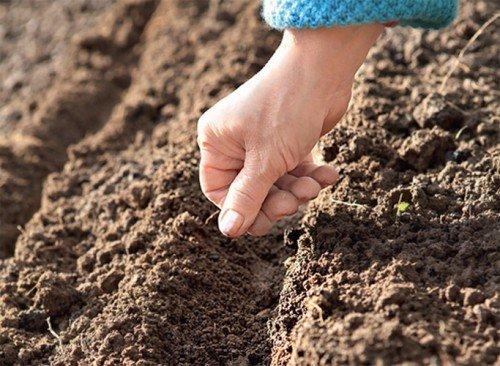 При посадке семенами, необходимо сделать рядочки, как на картинке