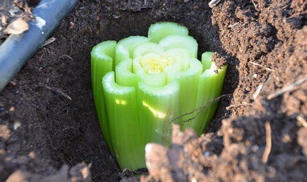 Как выглядит основная часть растения