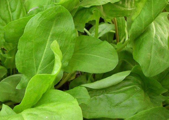 Щавель является очень вкусной и полезной зеленью