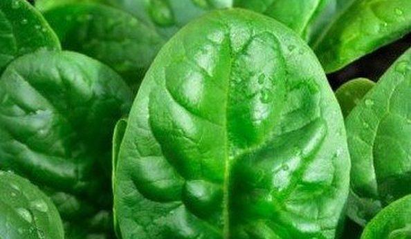 Как выглядят листья шпината крупным планом