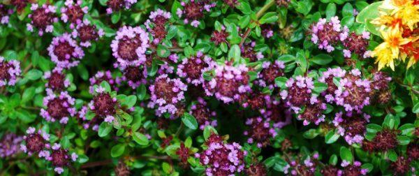 Как выглядит цветение растения крупным планом