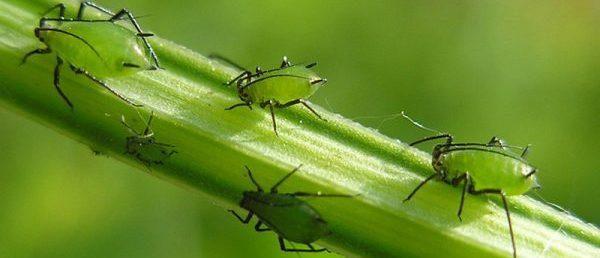 Тля крупным планом, которая может оседать на листьях зелени