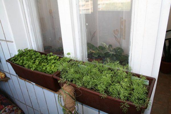 Выращивать зелень дома намного проще и удобнее, чем на огороде