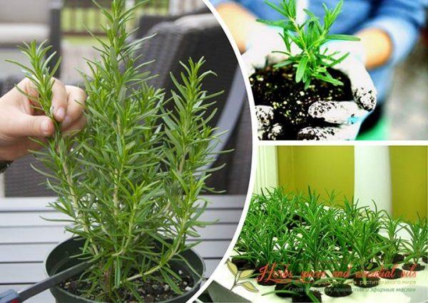 Как выглядит растение в нескольких вариантах