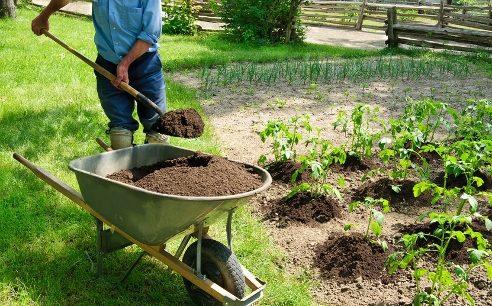 Навоз насыпают непосредственно на почву и разравнивают вокруг растения