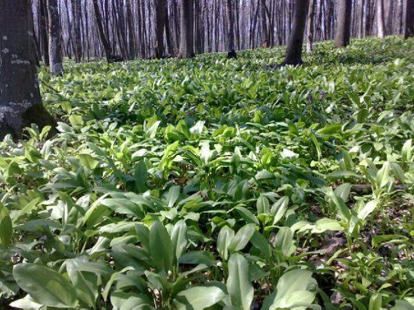 Места произрастания растения - это посадки и лесные зоны