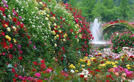 Сад с использованием одних только роз