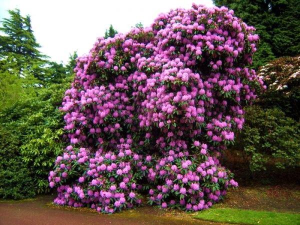 Японский Рододендрон - оригинальный кустарник для создания садовых лабиринтов
