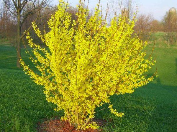 Форзиция - кустовое растение устойчивое к засушливой погоде