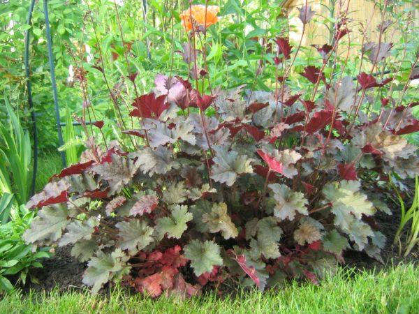 Гейхера - красивое растение, которое ценится за богатую цветовую гамму