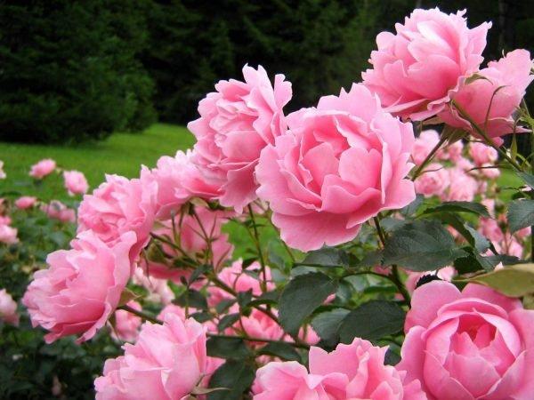Пион известен своим пышным и продолжительным цветением