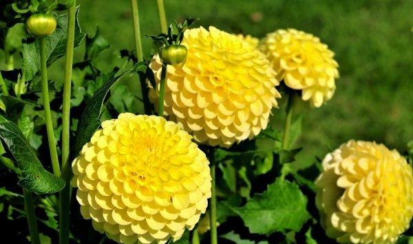 Георгины - цветы, которые не оставят равнодушным никого