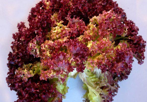 Салат Дубовый имеет оригинальные характерные листья зелено-бурого цвета