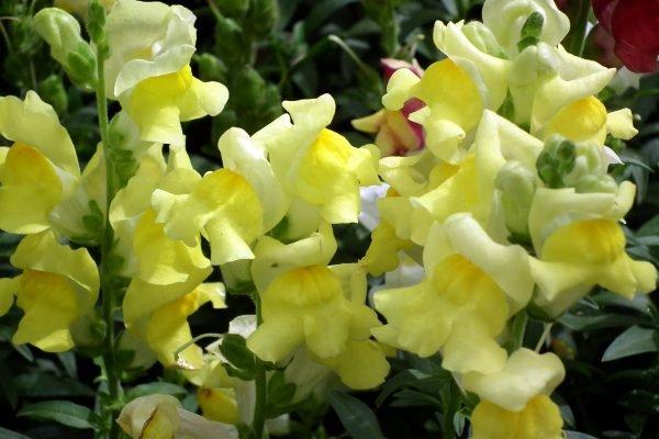 Многие используют желтые цветы, подбирая их под цвет домов на территории