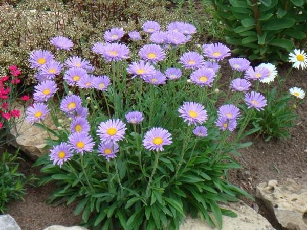 Растение, благоприятно растущее в уральском климате - альпийская астра