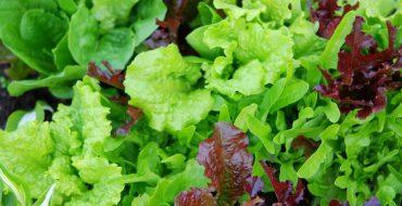 Какие существуют виды зеленых салатов