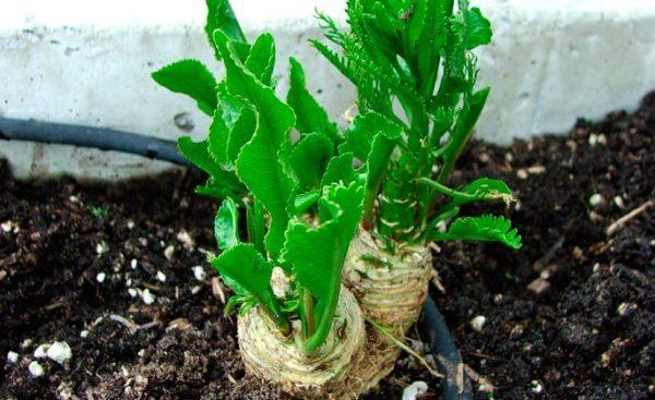 Как посадить хрен весной на огороде, а также как правильно сажать растение летом и особенности пересадки на новое место