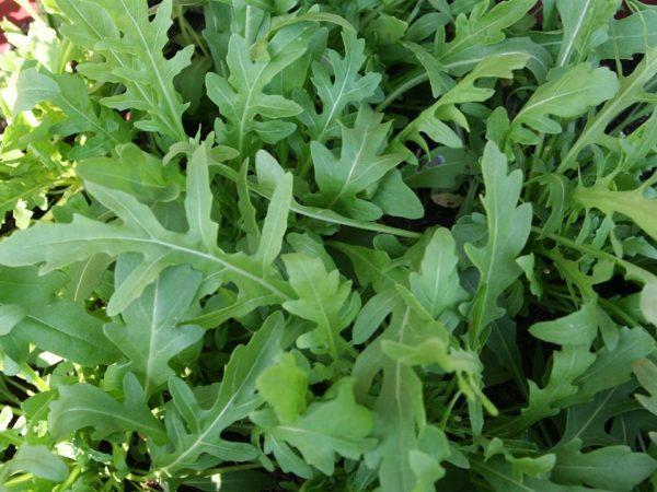 Важно помнить, что руккола имеет сходство с листьями одуванчика