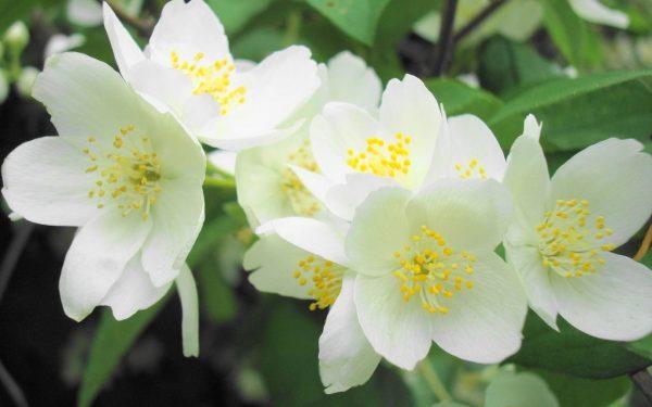 Жасмин - приятно пахнущий и неприхотливый цветок