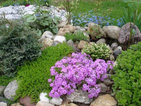 Размножается тимьян при помощи семян или вегетативно