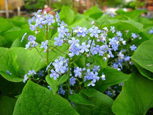 Бруннера является простым и изящным растением, которое украсит любой сад