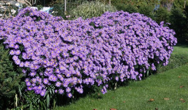 Многообразие кустовой астры позволяет создать эффект непрерывного цветения