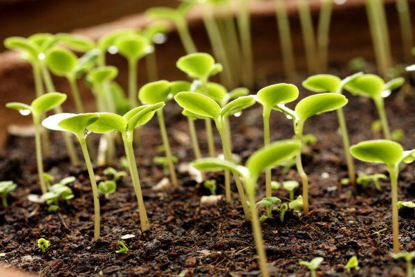 Удобрять саженцы дрожжами можно с первых дней их прорастания