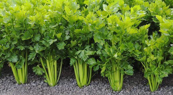 Для выращивания сельдерея рекомендуется использовать суглинок или супесок