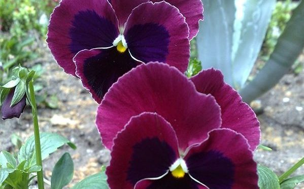 Можно высадить клумбу из одного растения разных цветов