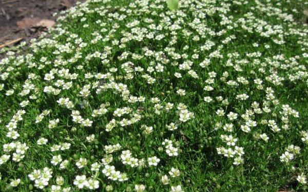 Шиловидная мшанка абсолютно не требовательное к уходу растение