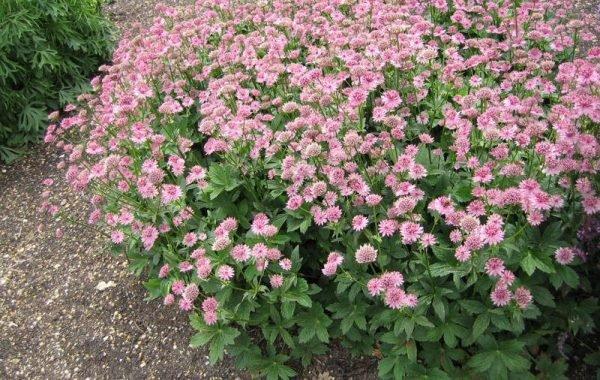 Астранцию используют для придания пестрых разноцветных оттенков на садовых участках
