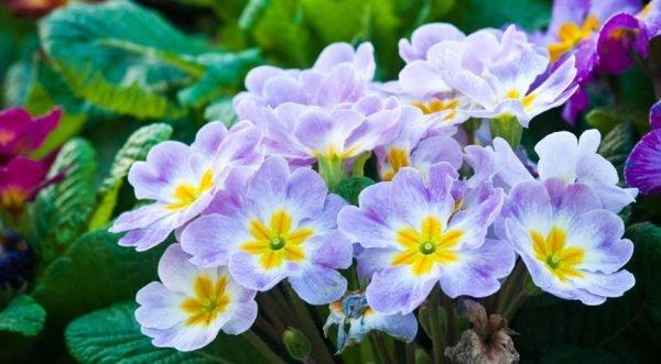 Примула - одно из растений, которое устойчиво к перепадам температуры
