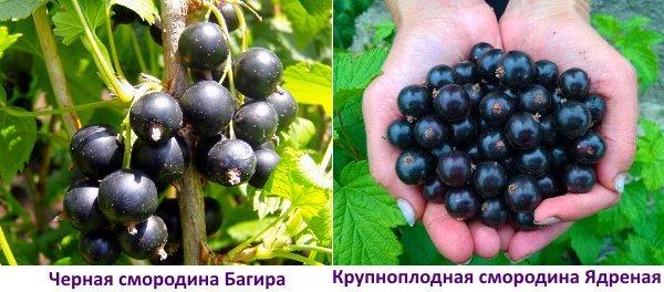 Сравнение двух крупных сортов ягод