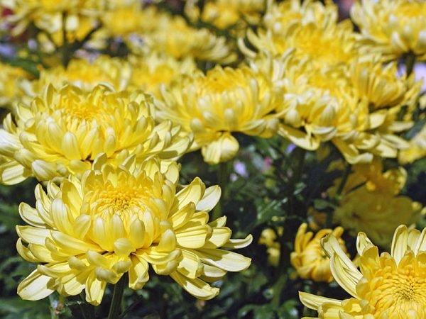 Хризантема - поздноцветущие растение, которое выстаивает до сильных морозов