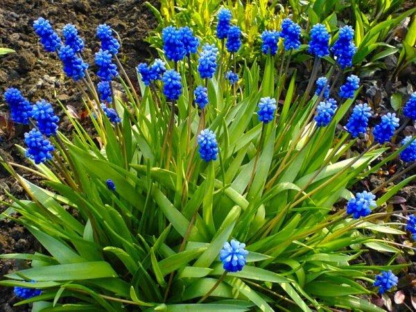 Большинство морозостойких многолетних цветов предпочитают тень
