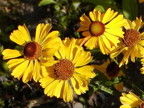 Желтый гелениум, как отличный вариант для декора территории