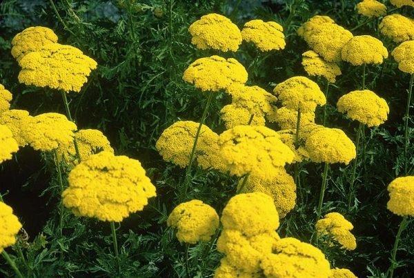 При украшении участка желтыми цветами рекомендуется правильный подбор окраса других цветов