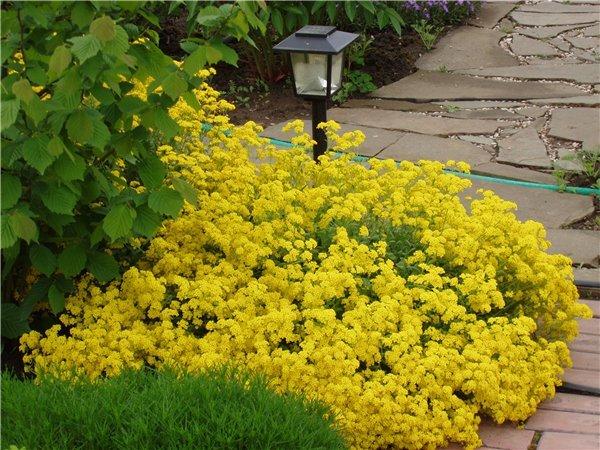 Алиссум высаживается для придания ярких пятен на садовом участке