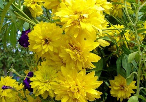 Георгина - универсальное растение, растущее как под палящим солнцем, так и в тени