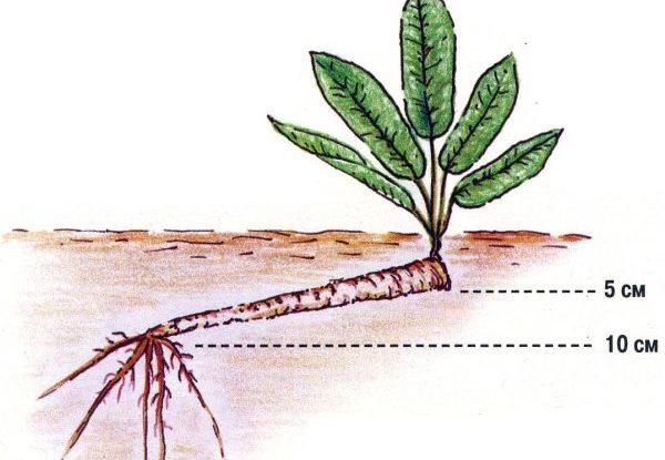 Как выглядит в земле корень хрена
