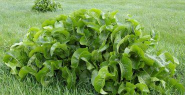 Как вывести хрен на огороде