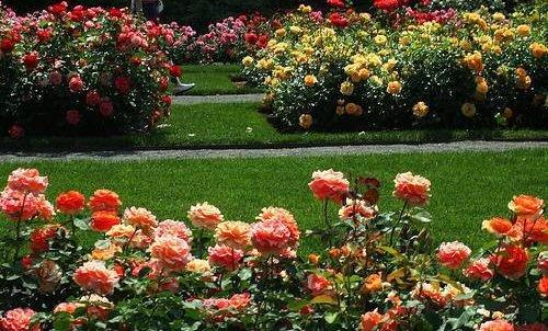 Можно высаживать клумбу с одним сортом цветов