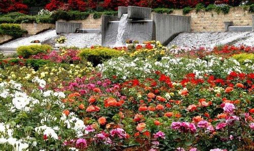 Засеянный розами цветник на склоне