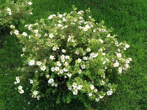 Лапчатка высаживается для придания саду ярких цветов
