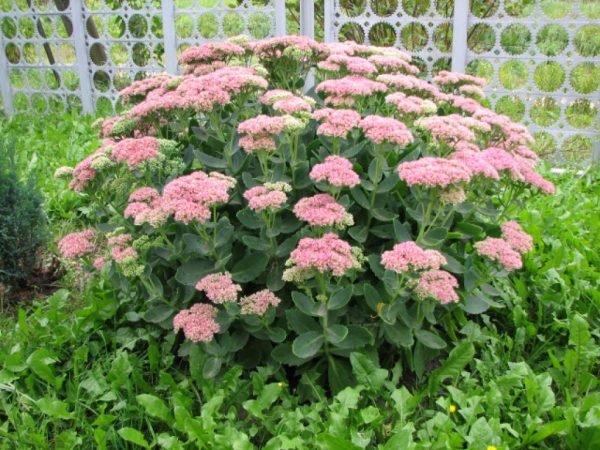 Очиток - обильно цветущее многолетнее растение, часто используемое для декора клумб